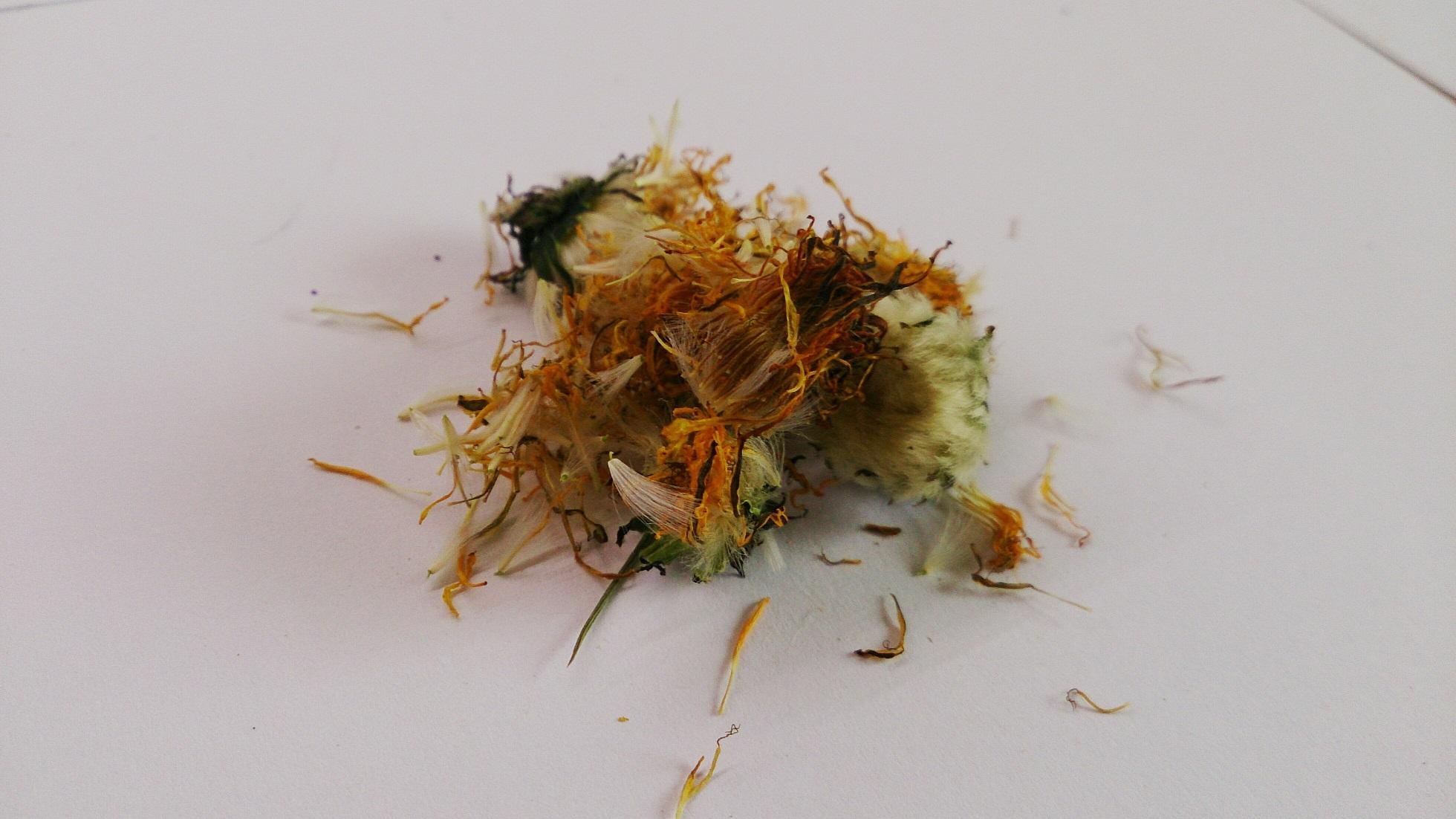 kwiat mniszka dla szynszyli