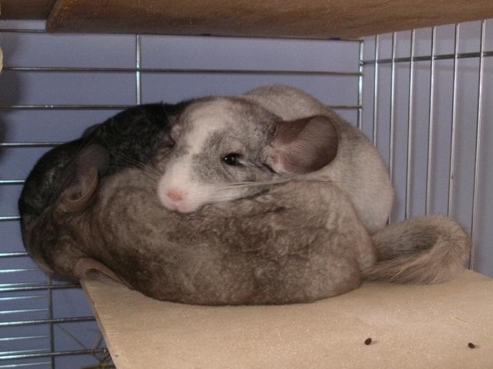 szynszyle śpiące na półce
