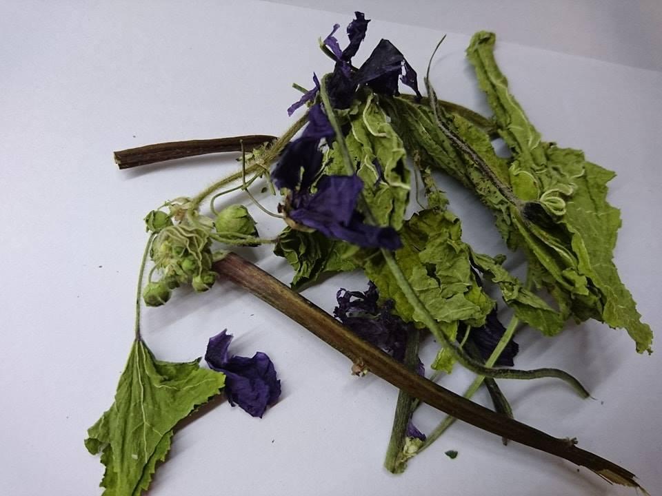 Hipcio - ziele malwy z kwiatem