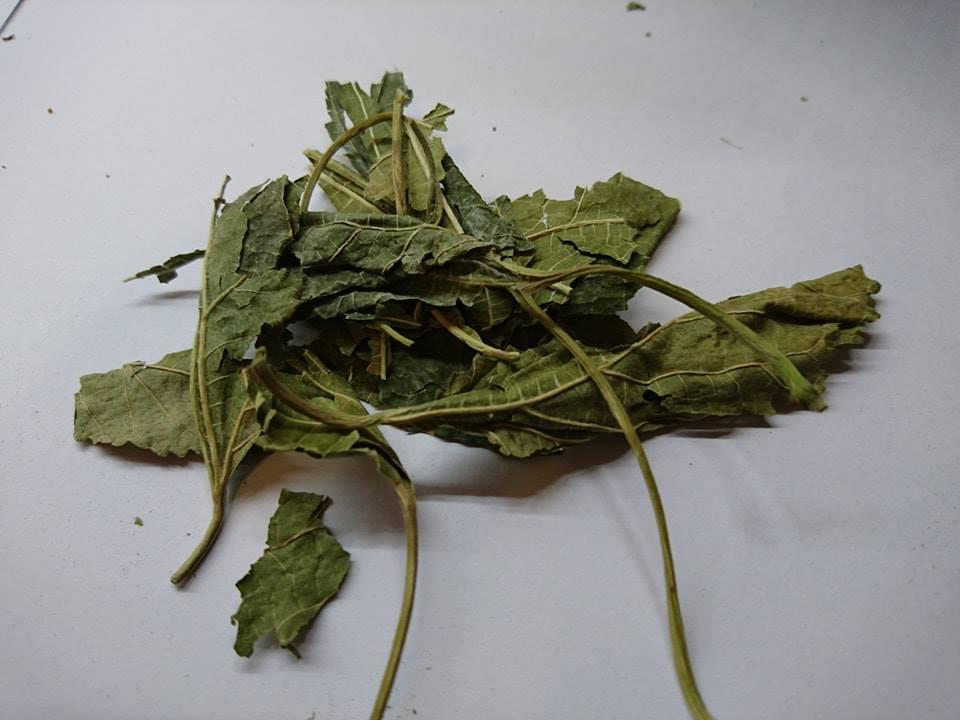 Hipcio ziele morwy białej